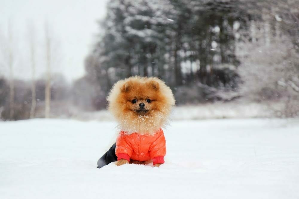 Dog wearing a jacket and sitting in the snow