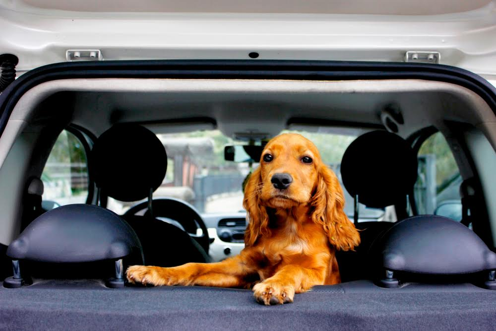 Dog standing on the back seat of a car and facing the open back door