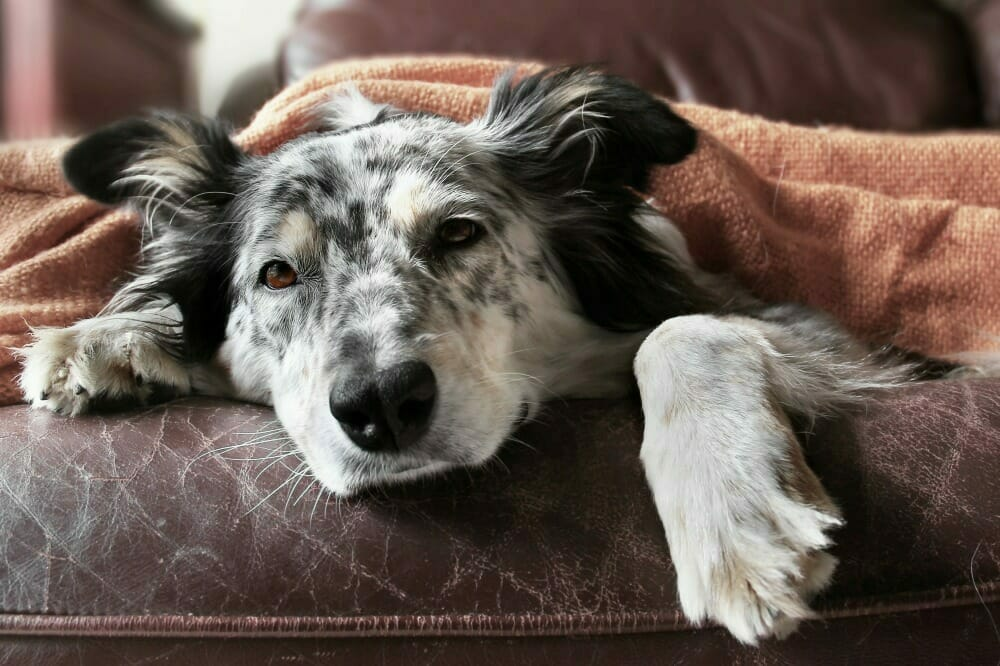 Dog lying on a couch underneath a blanket