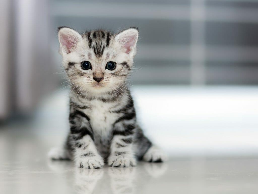 Grey kitten sitting on the floor