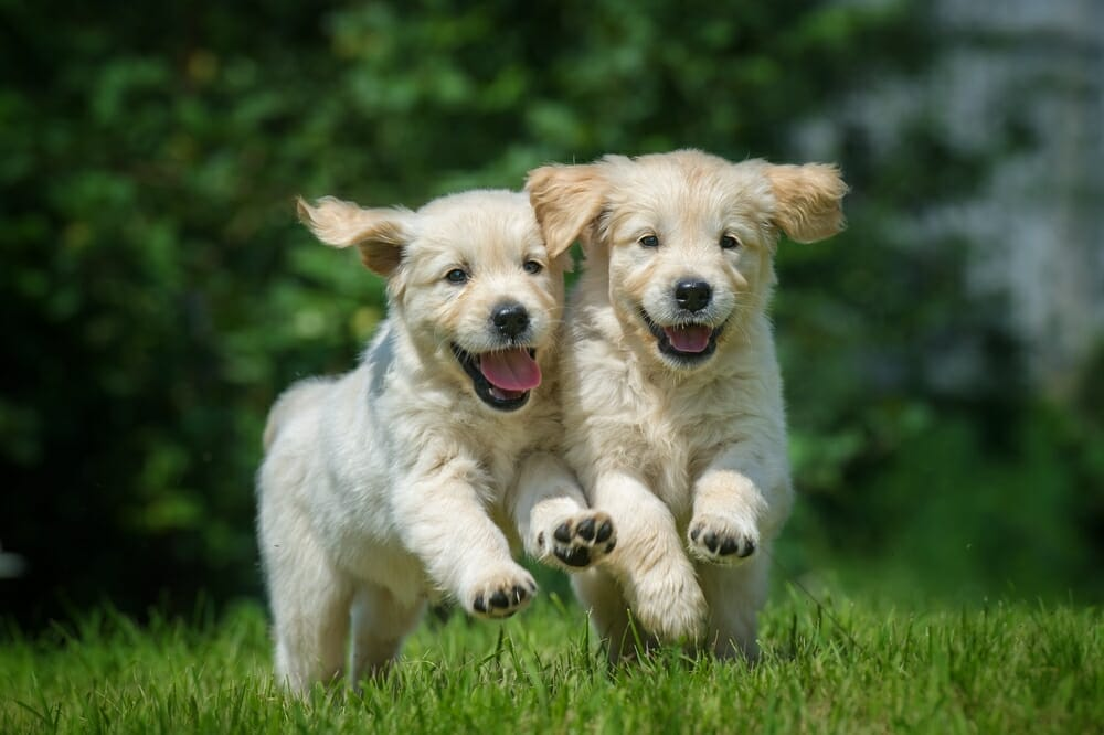 Two happy puppies running in grass