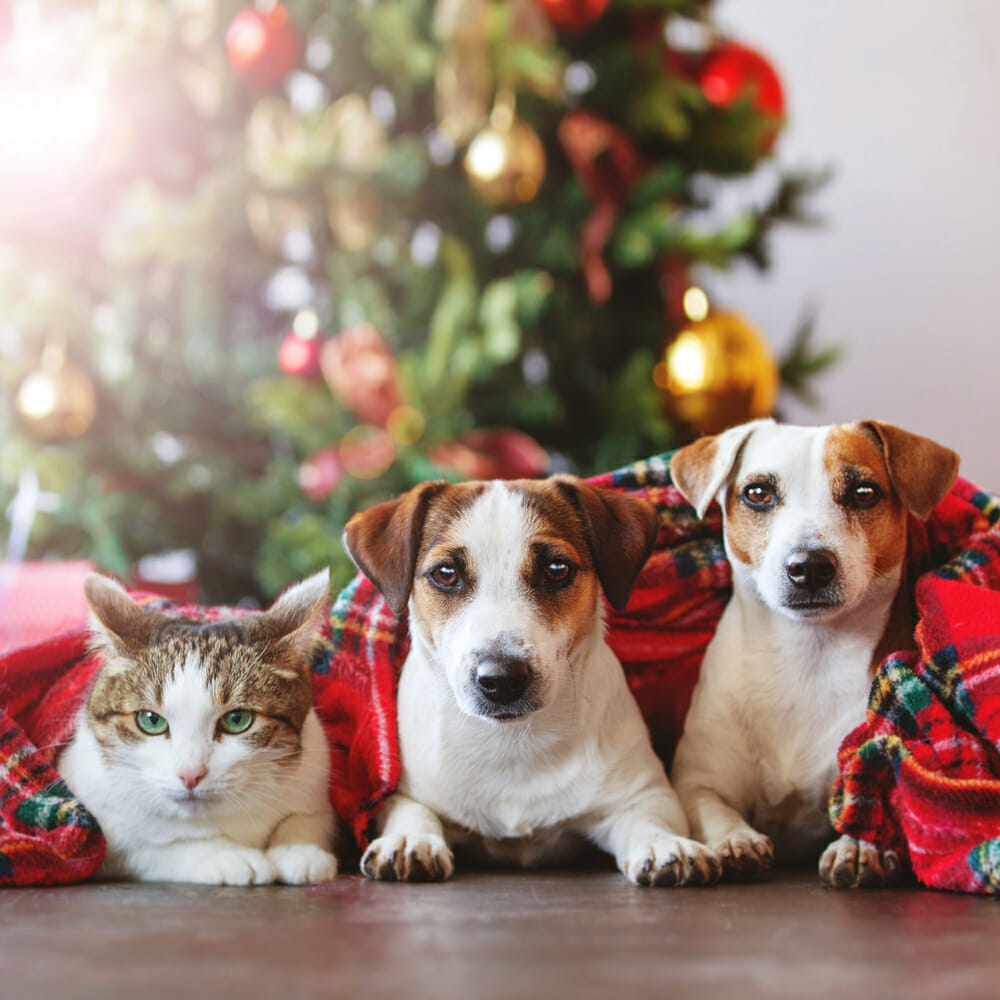 Cat and two dogs underneath a Christmas blanket
